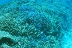 八重干瀬枝サンゴ